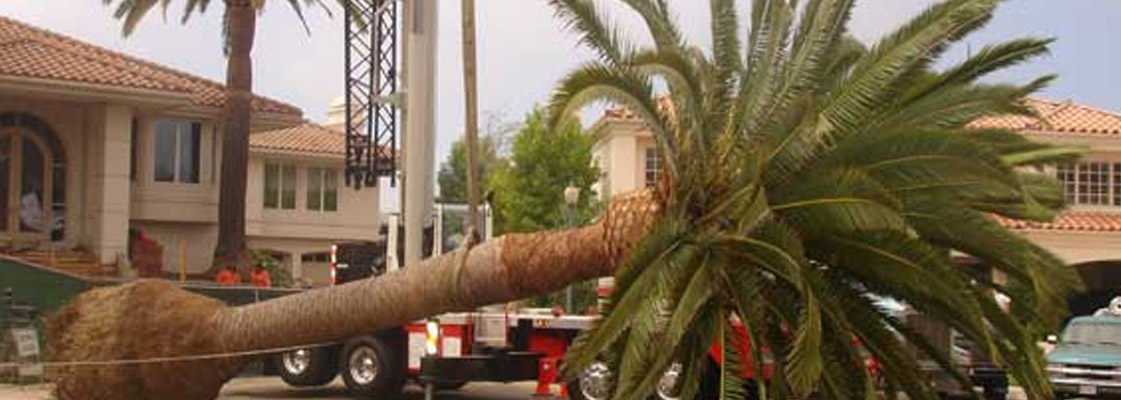 How to Remove a Palm Tree by Professionals?